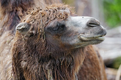 Portriait of a camel