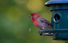 House Finch Snacking