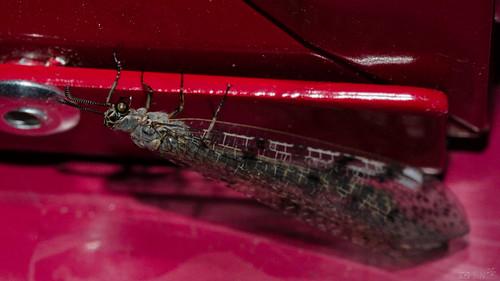 Ameisenjungfer 03