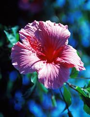 Hibiscus Flower on Kauai (2)