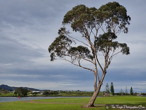 Large Eucalyptus Tree along Hatea River