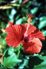 Hibiscus Flower on Kauai (1)