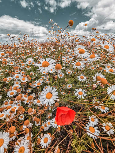 one poppy between the daisies
