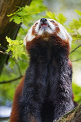 Red panda looking up