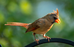 Female Cardinal Yelling at Me