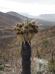 Kingia australis III - Mt Hassell Climb, Stirling Ranges, Western Australia