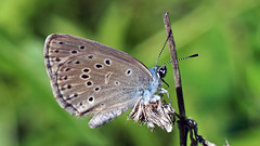 Phengaris alcon ?f.rebeli - Mountain Alcon blue - Голубянка алькон