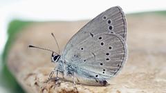 Cupido minimus - Small blue - Голубянка малая