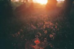 Summer Evening Light Falling on Bluebells