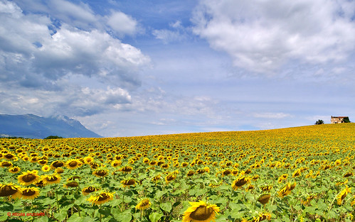 girasoli/sunflowers