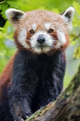 Serious and funny red panda