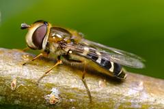White-clubbed Hoverfly (Scaeva pyrastri)