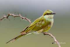 A Green Bee Eater before a catch