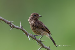 A Pied Bushchat (Female) on a Perch