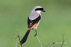 A Long Tailed Shrike waiting for the strike