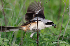 A Long Tailed Shrike with the Catch
