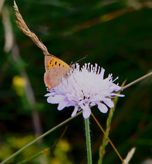 Field Scabious. (with Sm Copper Butterfly)
