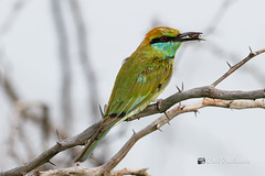 "Now you know why it is called Green ""Bee Eater"""