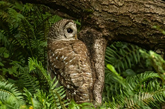 Barred Owl, well camouflaged.