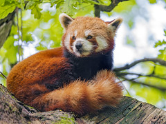 Red panda on the big branch