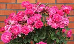 """""""Wall roses"""""""