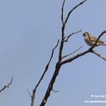 Aves en las lagunas de La Guardia (Toledo) 19-07-2020