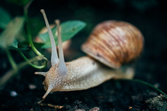 Close-up picture of a snail sliding on the forest ground