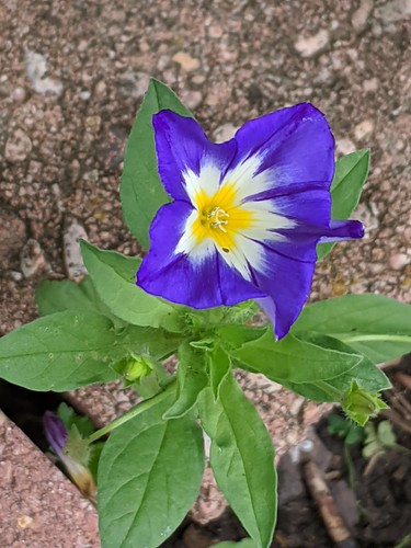 Dwarf Morning Glory (Convolvulus tricolor)