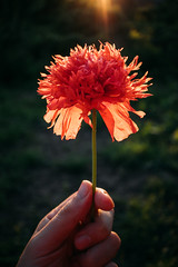A hand holding a beautiful red poppy flower with sunlight in the background