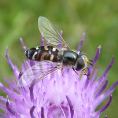Scaeva pyrastri (f) - a hoverfly 1b
