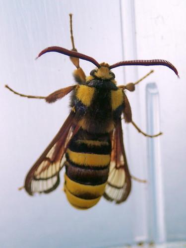 Sesia apiformis - Hornissenglasflügler, Beleg