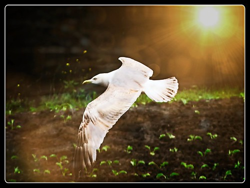 Seagull in the Fields