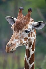 Portrait of a shy giraffe