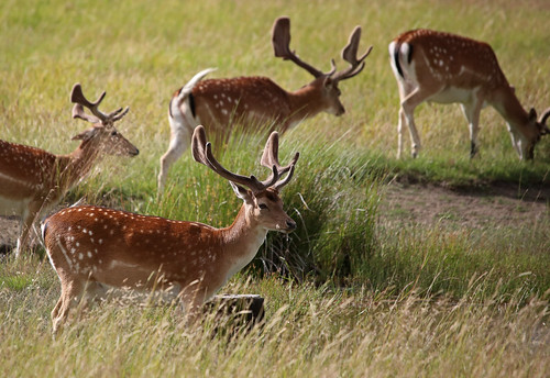 Fallow deer (Dovhjort) (Explore 21/7-20)