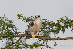 A Happy Black Shouldered Kite