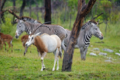 Zebras and Scimitar oryxes