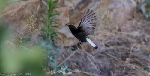 Chasco-preto (Oneanthe leucura) Black Wheatear Portugal Carrapatosa 2019-07-28