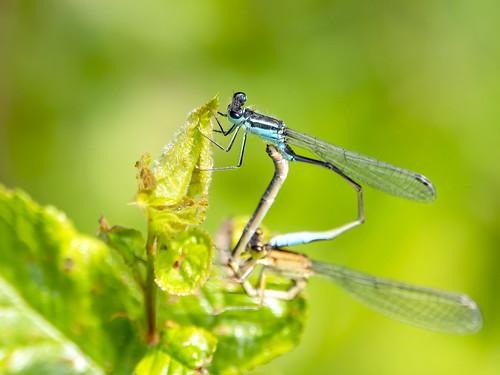 Lantaarntje-Blue-tailed Damselfly (Ischnura Elegans)