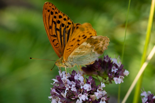 Silver-washed Fritillary | Monpazier and around-33