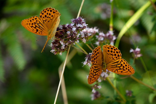 Silver-washed Fritillary | Monpazier and around-32