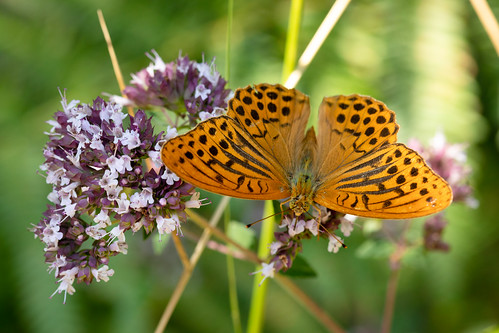 Silver-washed Fritillary | Monpazier and around-35