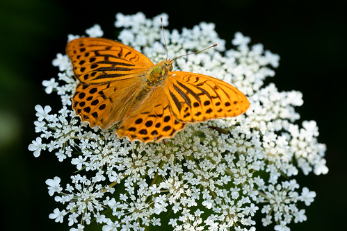 Silver-washed Fritillary | Monpazier and around-37
