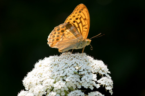 Silver-washed Fritillary | Monpazier and around-36