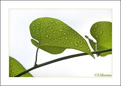 Water drops/ Drops of dew