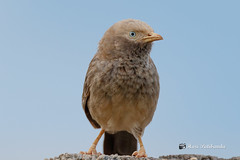 A Yellow Billed Babbler on a perch