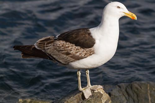 Gaivotão (imaturo) (Larus dominicanus) Kelp Gull
