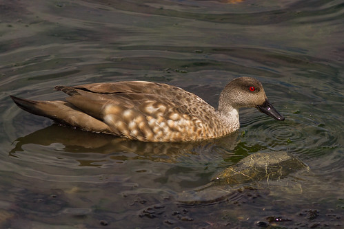 Pato-de-crista-austral (Lophonetta specularioides) Crested-duck