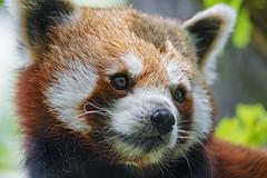 Close portrait of a red panda