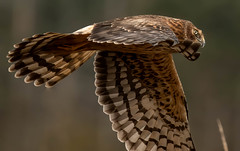 more wing detail up close. Harrier hen