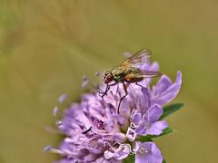 Mouche sur fleur violette.